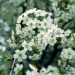 Blossoming cherry-tree — Stock Photo