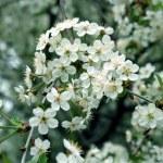 Blossoming cherry-tree — Stock Photo #32790243