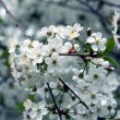 Blossoming cherry-tree — Stock Photo #32790475
