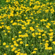 Yellow dandelions — Stock Photo #32790631