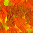 Fall leaves. Vibrant natural texture — Stock Photo