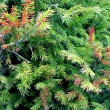 Stock Photo: Fir-tree