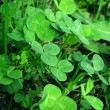 Clover — Stock Photo #33331739