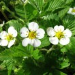 Spring plants-strawberry — Stock Photo #33550451