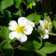 Spring plants-strawberry — Stock Photo