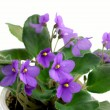 Stock Photo: Flower violet
