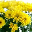 Stock Photo: Flower Chrysanthemum