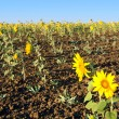 Sunflowers in field — Stock Photo