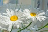 Flower ox-eye daisy — Stock Photo