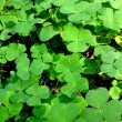 Clover — Stock Photo #33901033