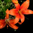 Orange lily — Stock Photo #34662789