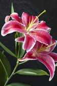 "Lily, sort ""star"" — Foto Stock"