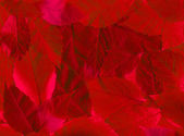 Red leaves background — Stock Photo