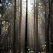 Fog and sunny rays in a forest — Foto de Stock