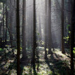 Fog and sunny rays in a forest — Стоковое фото