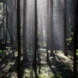 Fog and sunny rays in a forest — Stok fotoğraf
