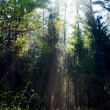 Fog and sunny rays in a forest — Stockfoto #35535757