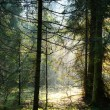 Fog and sunny rays in a forest — Photo