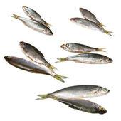 Set ofr river fish — Stock Photo