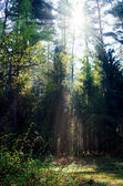 Fog and sunny rays in a forest — Stock Photo