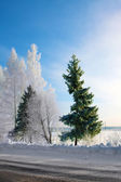 Winter landscape, fir tree and birches on the road — ストック写真