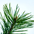 Pine close-up — Stock Photo