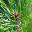 Pine close-up — Foto Stock
