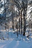 Beautiful nature, winter forest — Stock Photo