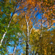 Yellow trees  in autumnal forest — Stock Photo