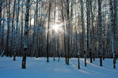 Beautiful nature, winter forest — Stock Photo