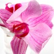 Flower orchid ( phalaenopsis ) — Stock Photo