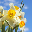 Flower Narcissus — Stock Photo