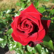 Flower red rose — Stock fotografie