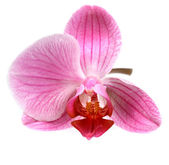 Flower orchid ( phalaenopsis ) — Foto Stock