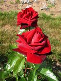 Flower red rose — Stock Photo