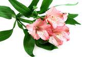 Blomma lily — Stockfoto
