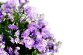 Flower campanula — Stock Photo
