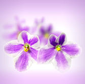 Beautiful flowers Saintpaulia — Stock Photo