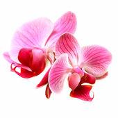 Flower pink orchid - phalaenopsis — Stok fotoğraf