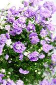 Campanula λουλούδι — Φωτογραφία Αρχείου