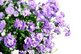 Campanula flor — Foto de Stock