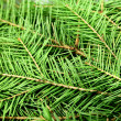 Fir tree — Stockfoto #36996611