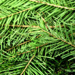 fir tree — Stock Photo #36996621
