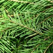 Fir tree — Stock Photo #36996667