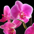 Flower orchid - phalaenopsis — Stock Photo #36996987