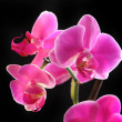Flower orchid - phalaenopsis — Stock Photo #36996997