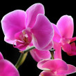 Flower orchid - phalaenopsis — Stock Photo #36997015