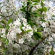 Stock Photo: Blossoming cherry tree
