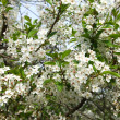 Blossoming cherry tree — Stock Photo #36997169
