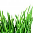 Green grass of oats — Stock Photo
